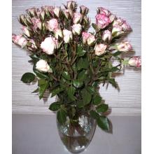 Кустовая белая роза с розовой окантовкой