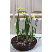 Композиция из весенних горшечных растений в грунте. Уход как за обычными комнатными растения (свет, умеренный полив) Состав: мускари, нарциссы.