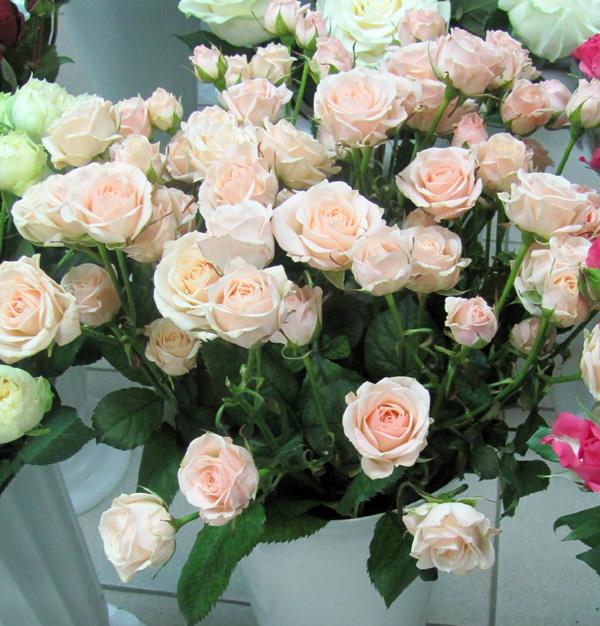 Персиковая роза кустовая